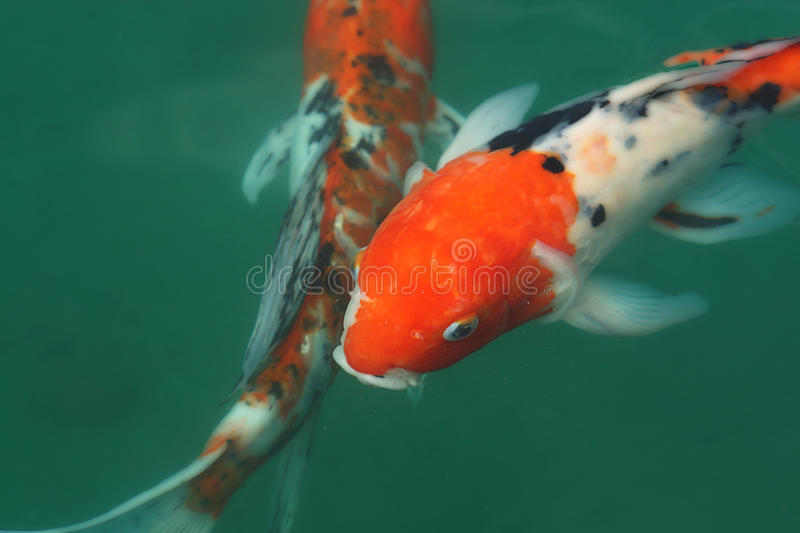 Koi fish in a pond stock images image 13560194 for Koi pond supply of japan