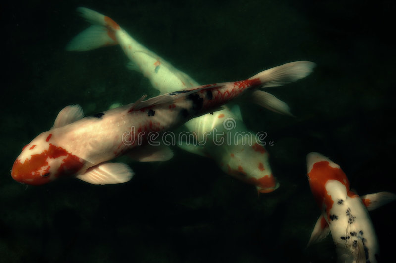 Koi Fish in Pond. At Jardin Botanique (Botanical Gardens) in Montreal, Quebec, Canada stock photos