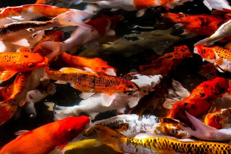 Koi fish in the pond stock photo
