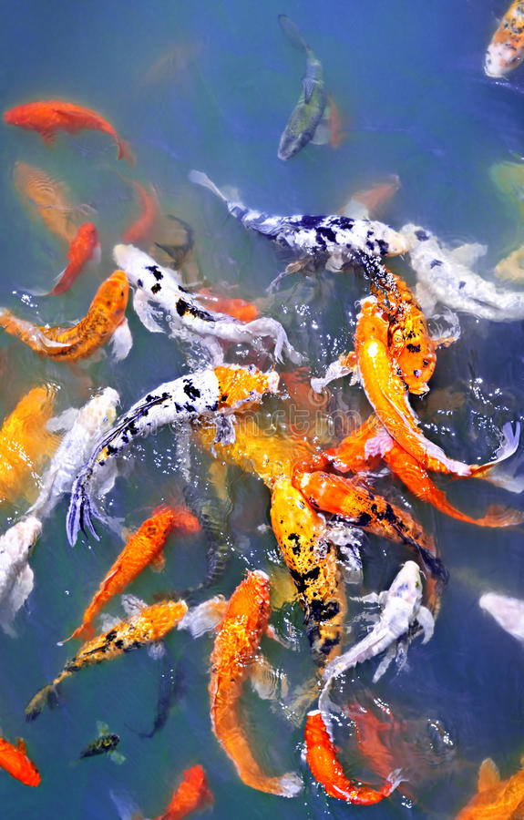 Download Koi fish in pond stock photo. Image of lots, nature, white - 15914014