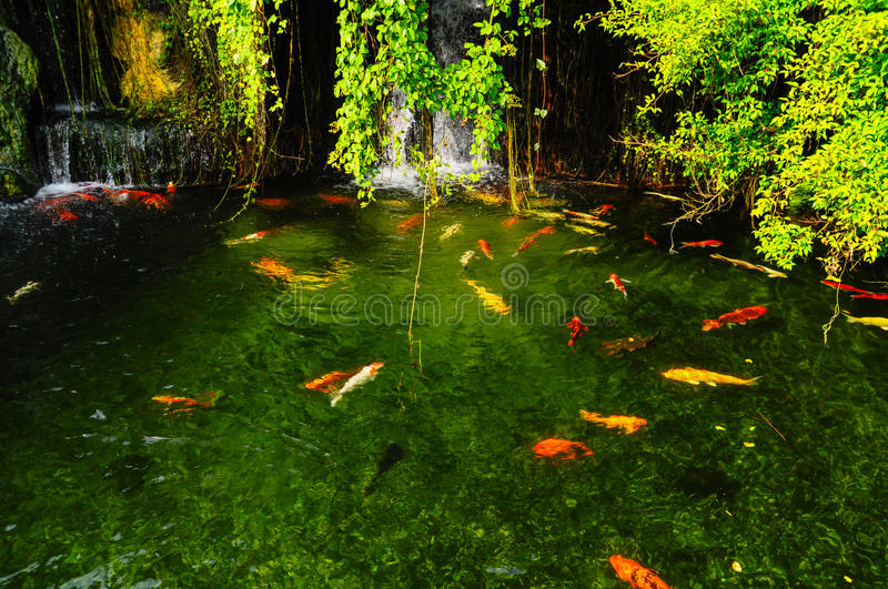 Koi fish in pond royalty free stock photography