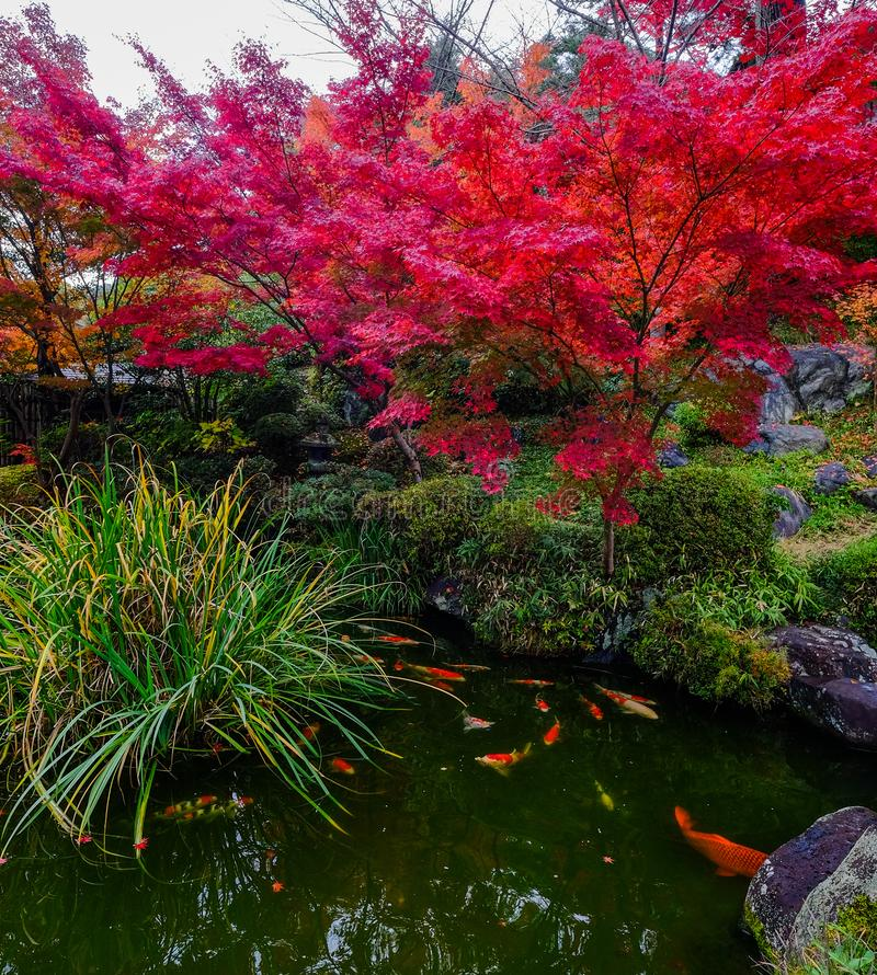 Koi fish on the pond in Kyoto, Japan stock image