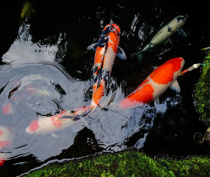 Koi fish on the pond in Kyoto, Japan stock images