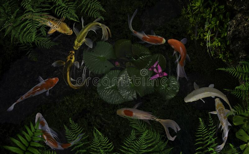 Koi fish pond with lotus flowers. Beautiful Koi Fish Swimming Pond Lotus stock photography