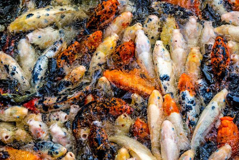 Koi fish in a pond / river. A bunch of koi fish coming up to feed in a pond / river stock image
