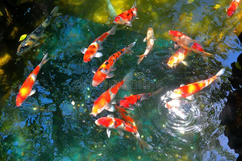 Koi fish pond stock image image of tranquility gardening for Dream of fish swimming