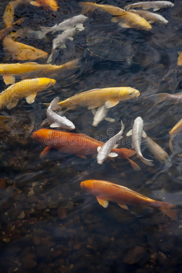 Koi fish. Red gold and white koi fish in a pond stock photos