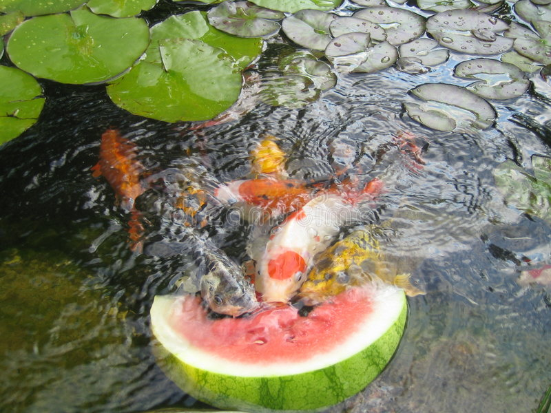 Koi Fish Snack Time. Hungry Koi fish snacking on a watermelon stock photo