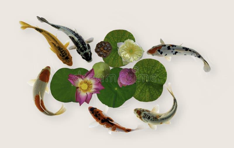 Koi fish swim with Nymphaea nelumbo flowers in bloom. Yin yang koi fish swim with Nymphaea nelumbo flowers in bloom royalty free stock photography
