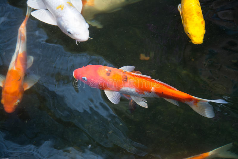 Koi fish swimming in the pond stock image image of for Koi fish in water