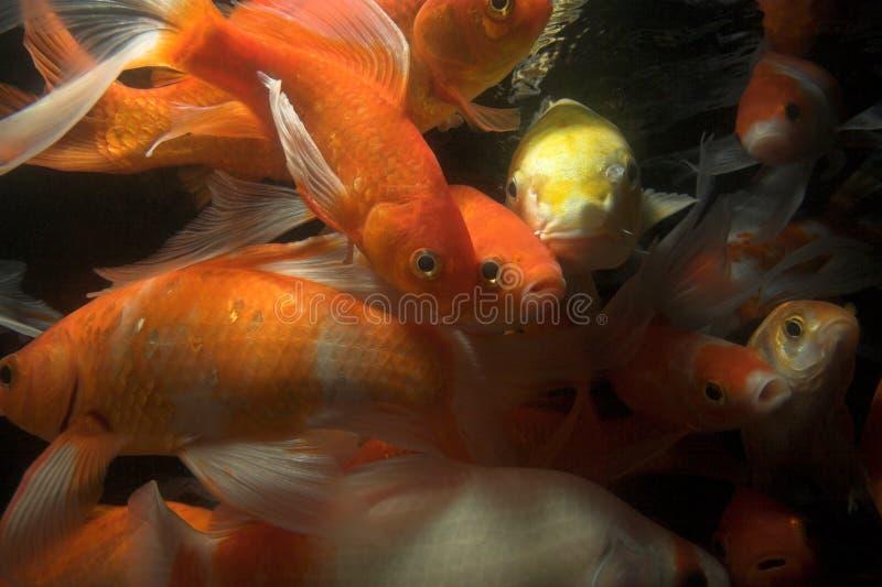 Koi fish underwater. Japanese koi underwater shot being fed royalty free stock photos