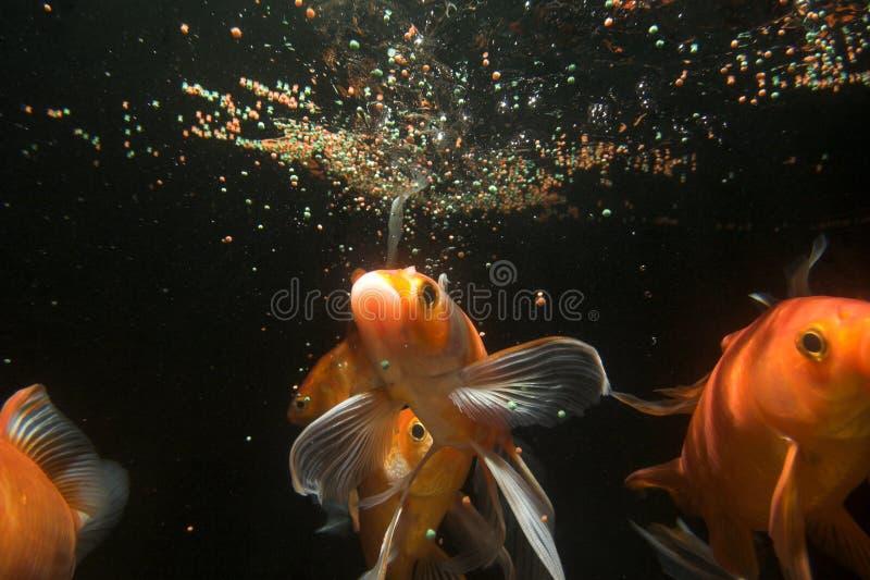 Download Koi Fish Underwater Royalty Free Stock Image - Image: 2783956
