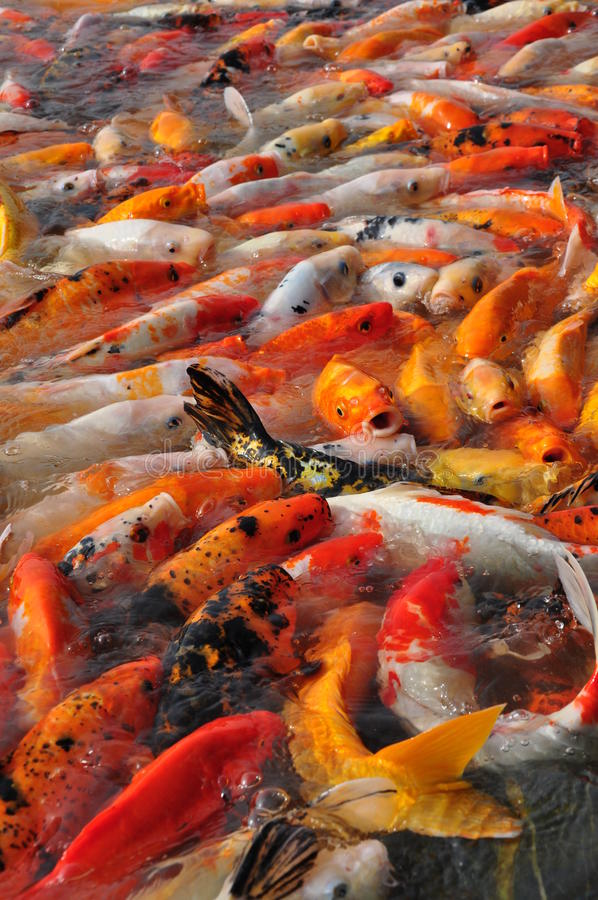 Download Koi Fishes Stock Images - Image: 26234994