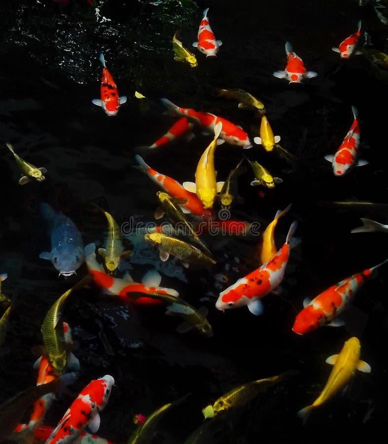 Koi Fishes stock photos