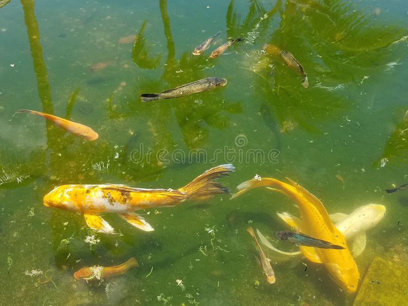 Koi Fishes Swimming in a Pond stock photography