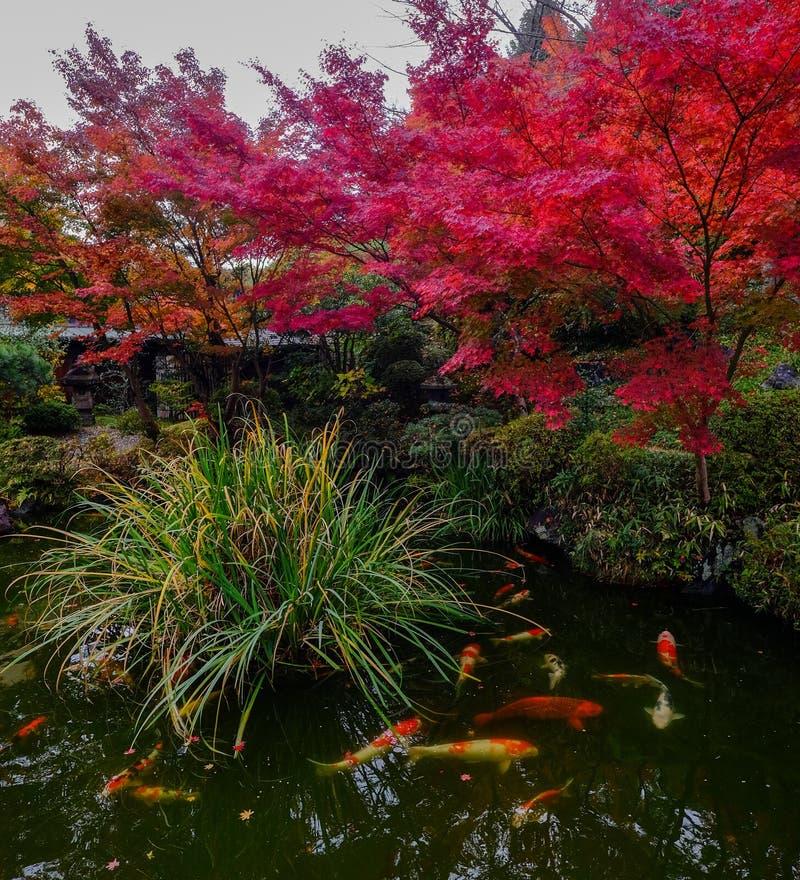 Koi fisk på dammet i Kyoto, Japan royaltyfri fotografi