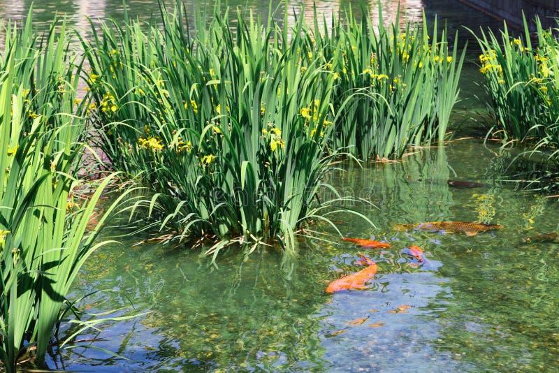 Koi japonais dans un étang près de la surface Jaune à  ris avec feuilles vertes dans l'eau photo stock