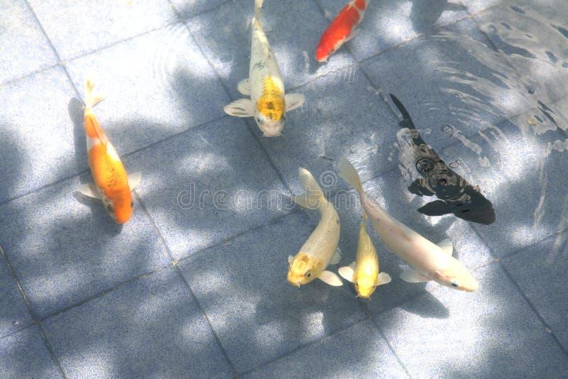 Koi japonais ou carpe image stock image du ombre bain for Koi japonais prix