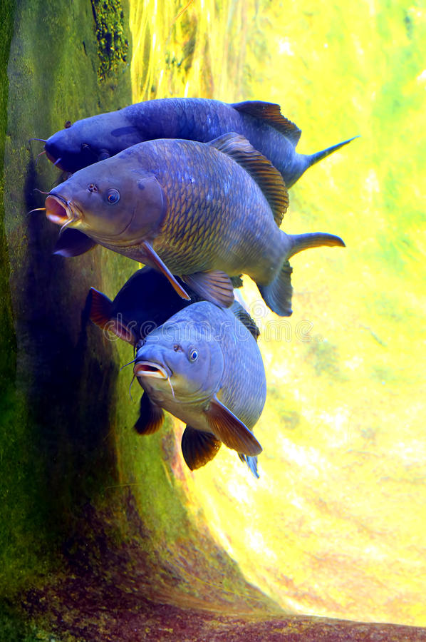 Koi of karpervissen royalty-vrije stock afbeelding