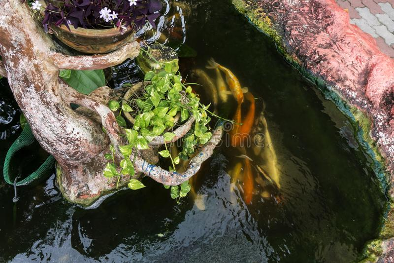 Koi karpfisk som simmar i ett damm arkivfoto