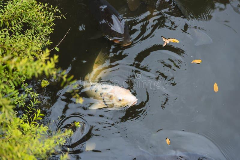 Koi japanese carp pond Ryōan-ji Kyoto stock images