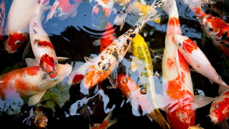Download Koi na lagoa imagem de stock. Imagem de aquático, nave - 65580585