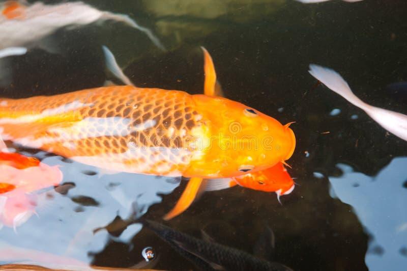 Koi o pescados chinos de la carpa en agua fotografía de archivo
