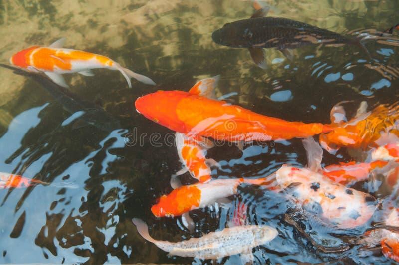 Koi o pescados chinos de la carpa en agua imagenes de archivo