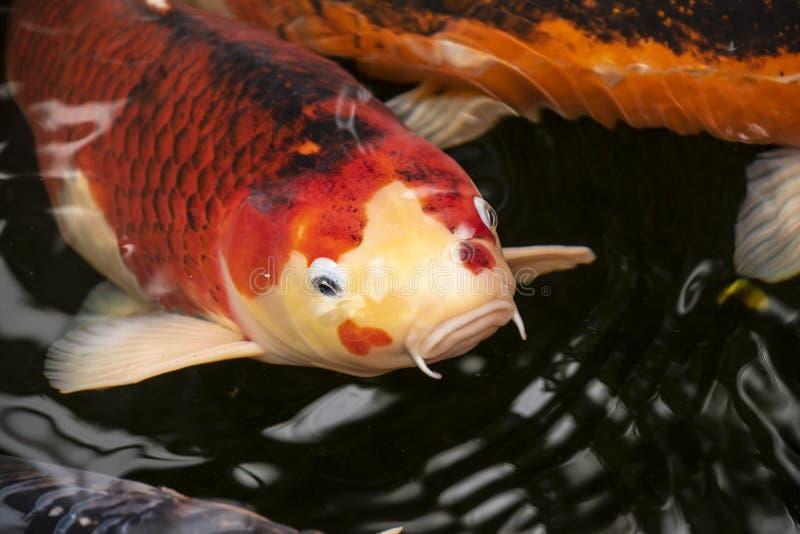Koi o più specificamente il jinli o il nishikigoi sono varietà colorate di rubrofuscus del Cyprinus della carpa dell'Amur cui son immagini stock libere da diritti