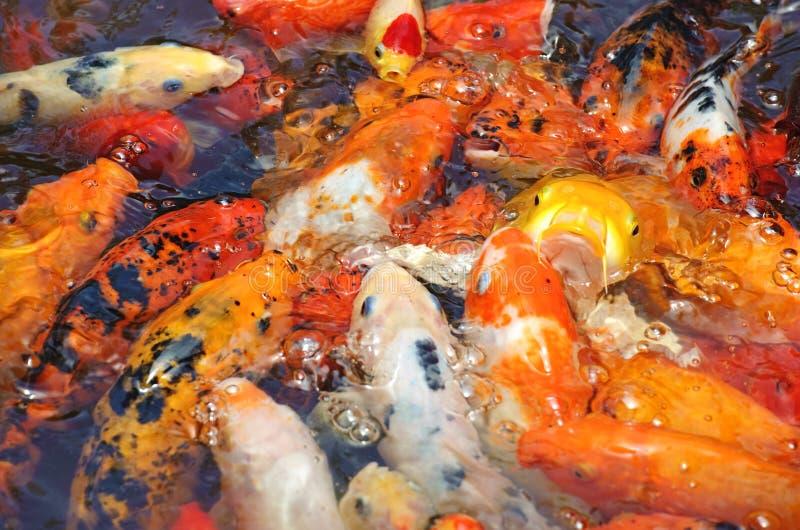 Koi piękna złota ryba zdjęcia stock