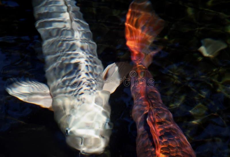 Koi in Pond stock photo
