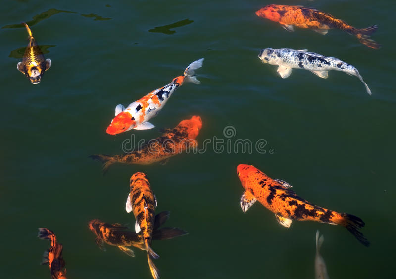 Download Koi in the pond. stock photo. Image of lake, flora, fish - 21031722