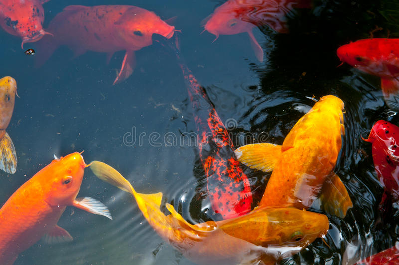 Download Koi Pond stock photo. Image of yellow, fish, aquatic - 25295058
