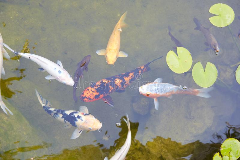Koi pond with carp fishes and waterlilies leaves in a summer day stock images