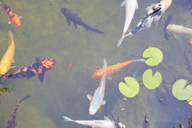 Koi pond with colorful fishes and waterlilies leaves in a summer day. High angle view stock photo