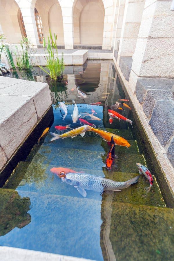 Koi pond con i pesci variopinti delle carpe del giappone for Mini pond con pesci