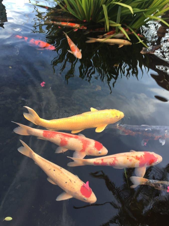 Koi pond fish zen nature royalty free stock photo