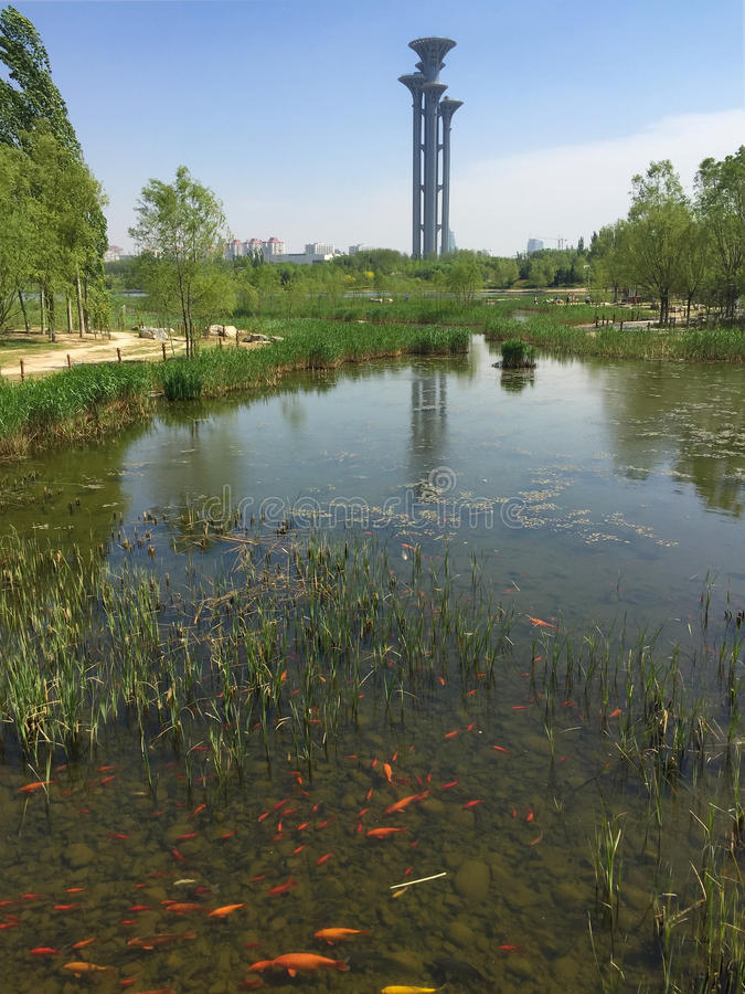 Koi Pond Park and Modern Towers. City Park with Koi Fish and Modern Buildings, Beijing China stock images