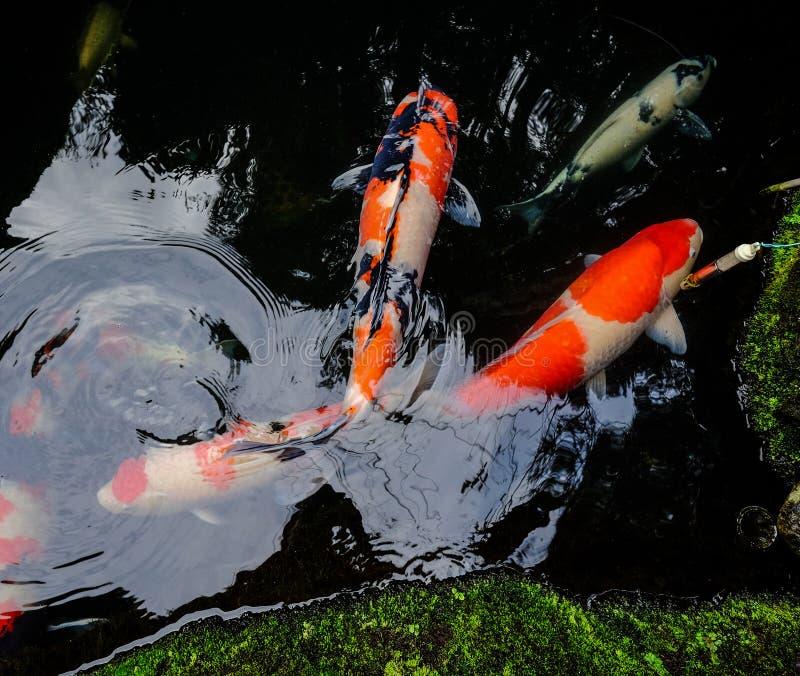 Koi ryba na stawie w Kyoto, Japonia obrazy stock