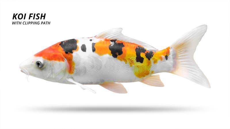 Koi ryba odizolowywaj?ca na bia?ym tle Colorfuls karpia ryba ?cinek ?cie?ka zdjęcia royalty free