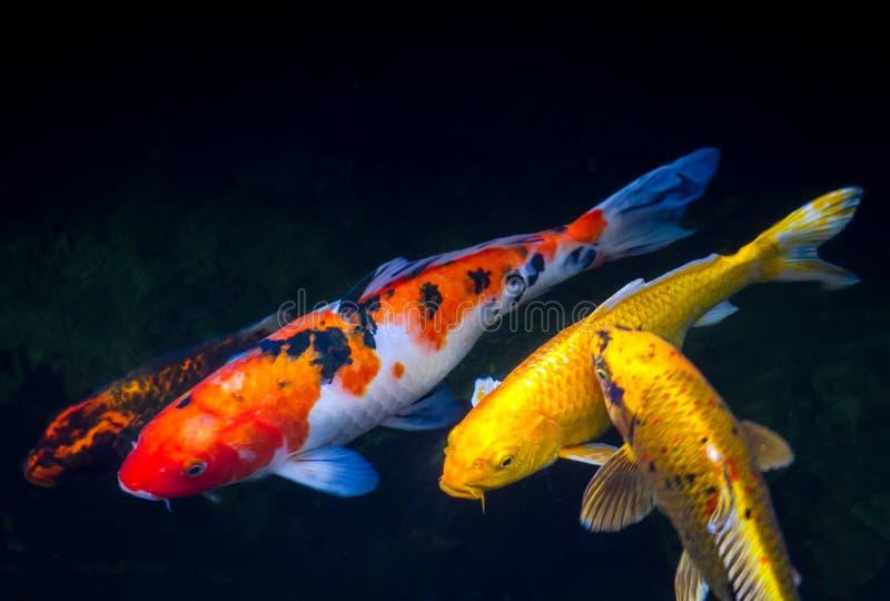 Koi ryba w stawie zdjęcie stock
