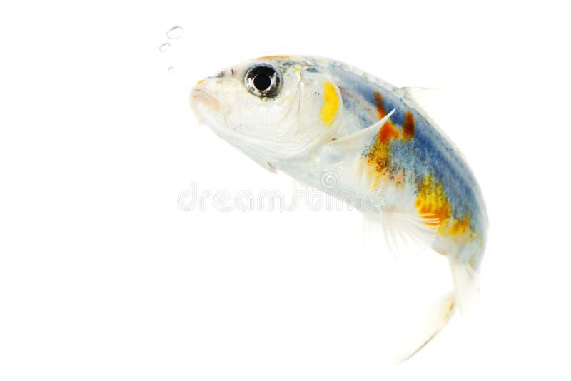 koi rybi srebro zdjęcia stock