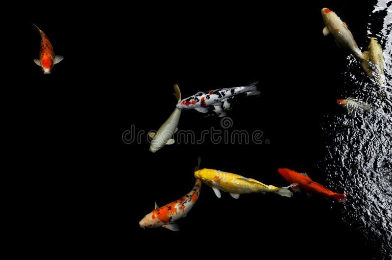 Koi-Schwimmen in einem Wassergarten, bunter koi Fisch stockfotografie