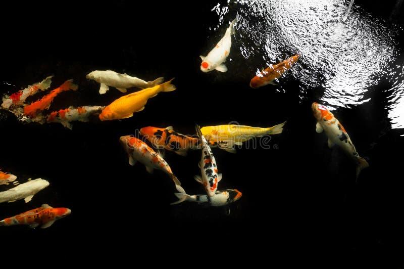Koi-Schwimmen in einem Wassergarten, bunter koi Fisch stockfoto
