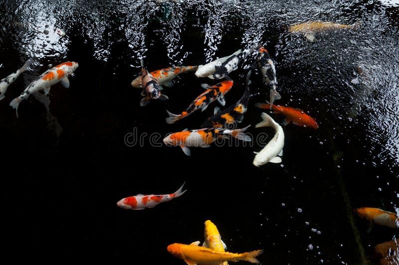 Koi-Schwimmen in einem Wassergarten, bunter koi Fisch lizenzfreies stockfoto