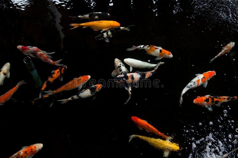 Koi-Schwimmen in einem Wassergarten, bunter koi Fisch lizenzfreie stockfotos