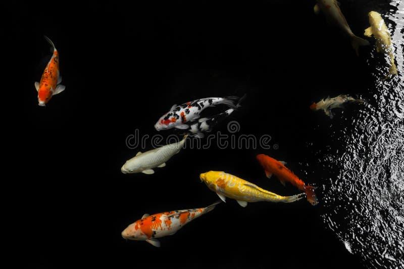 Koi simning i en vattenträdgård, färgrik koifisk royaltyfria bilder