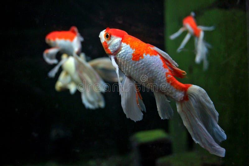Koi Slayer Fish stock afbeeldingen
