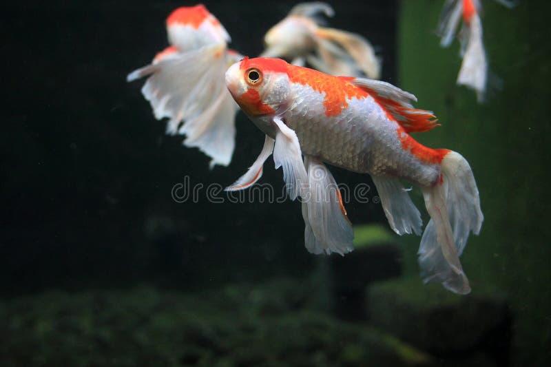 Koi Slayer Fish2 zdjęcie royalty free