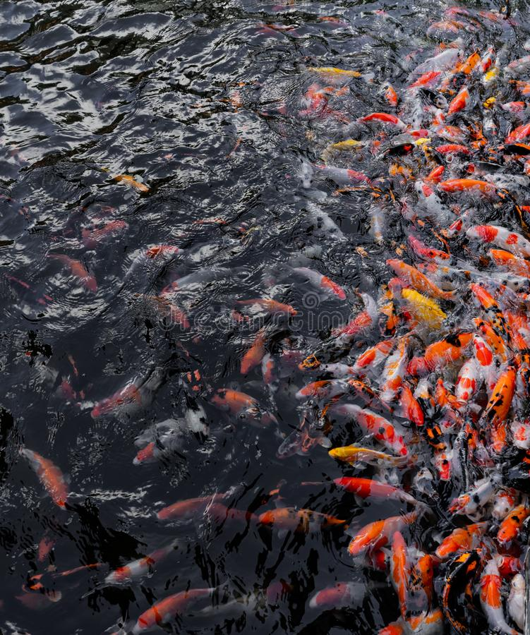 Koi swimming in water garden. Fancy and colorful carp fish. Koi Fishes swim in black pond. Koi fish color are red, orange and white. Taken during feeding time stock photos